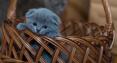 Kattunge i en korg